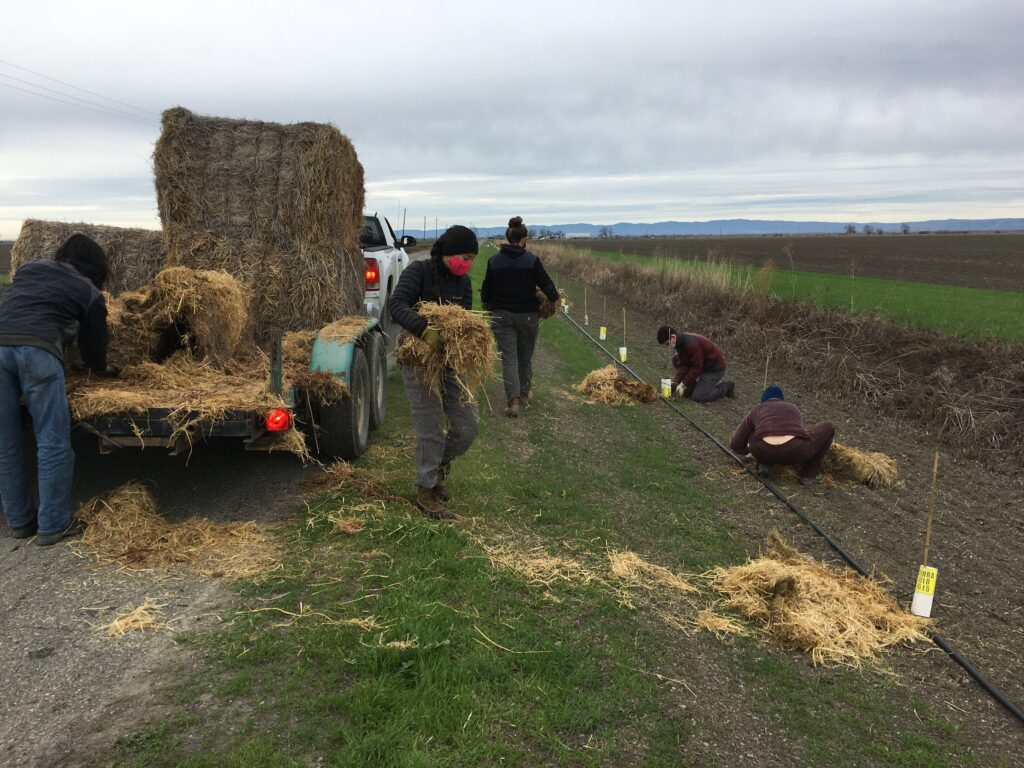 Volunteers grab leaves of rice straw off of the trailer.