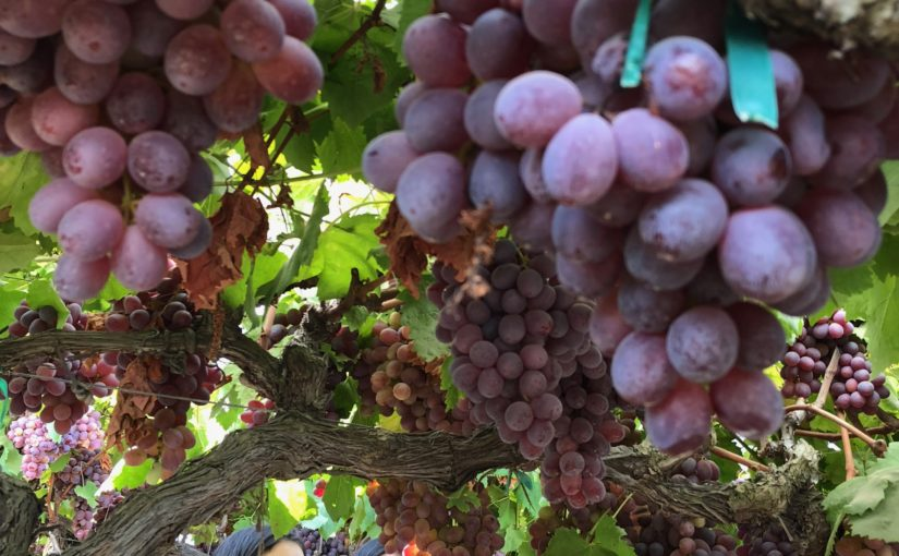 Kern County Students Take On Viticulture