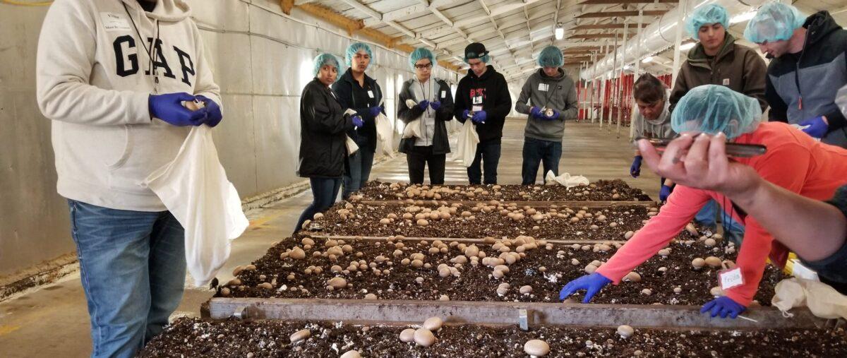 Harvesting at Monterey Mushroom