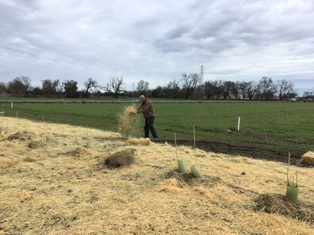 Spreading straw over the native seed bed.