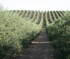 Olive Oil: A Tasting Journey