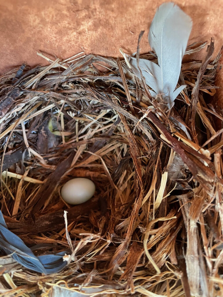 A bluebird egg spotted in one of the nest boxes!