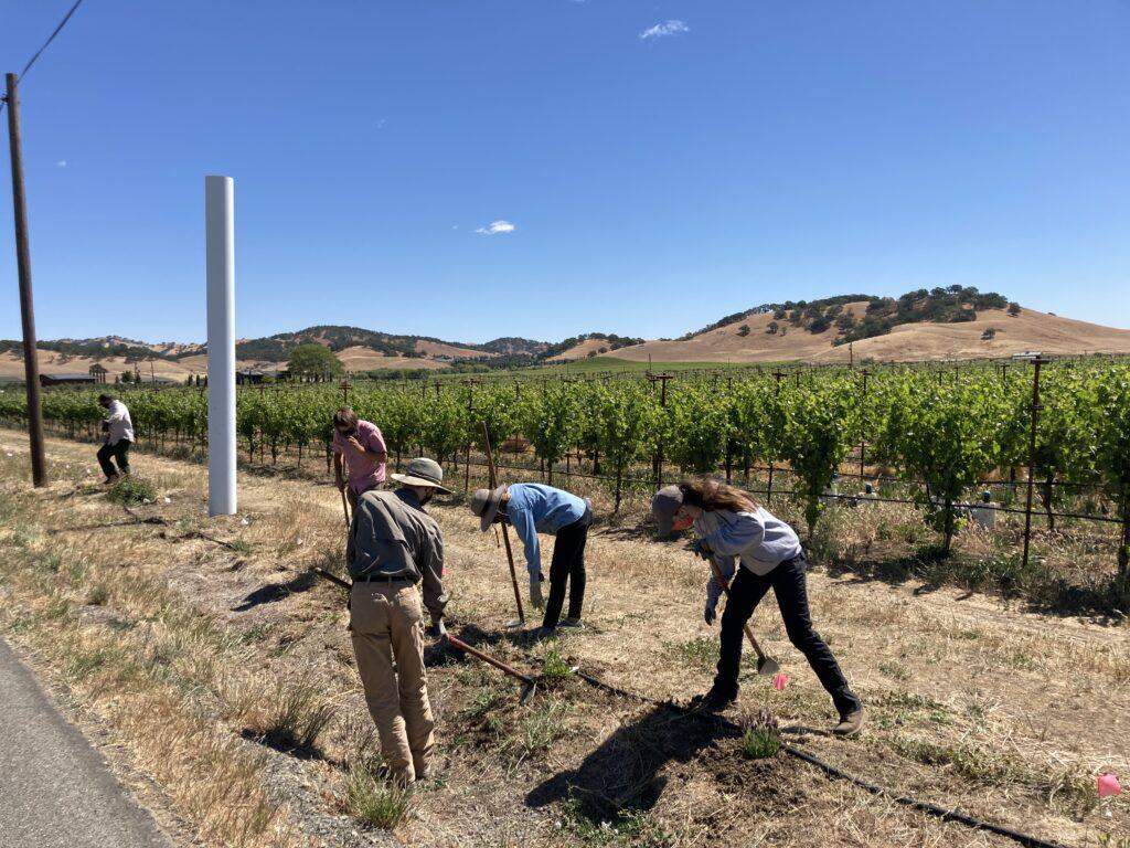 Volunteers removing weeds with the beautiful backdrop of Wild Oak Vineyards.